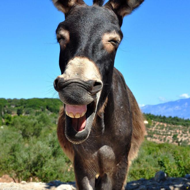 Riendo burro.
