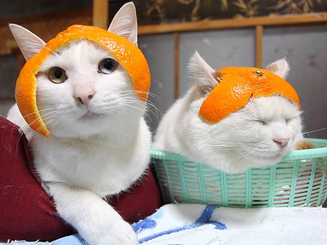 Sombrero de cítricos gatos.