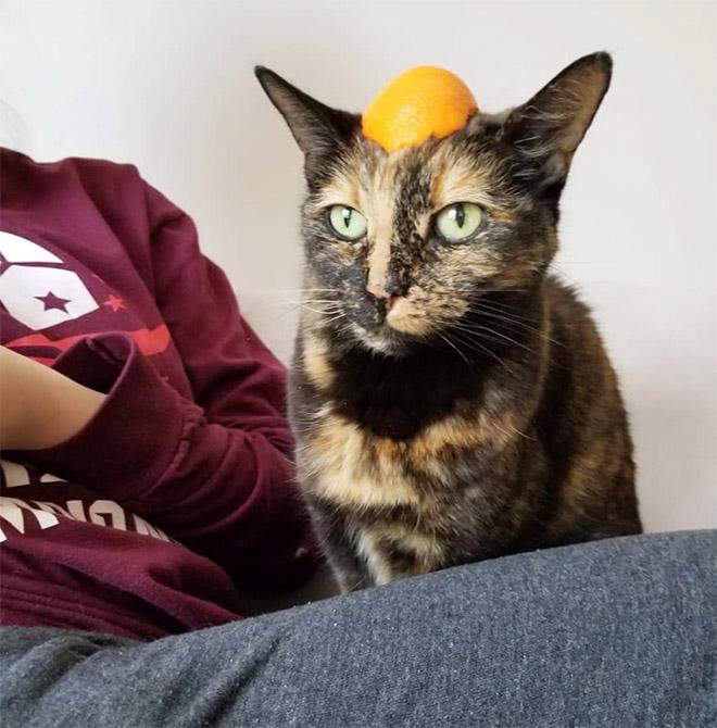 Gato con sombrero de cítricos.