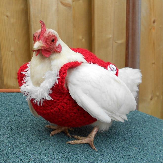 Pollo elegante.