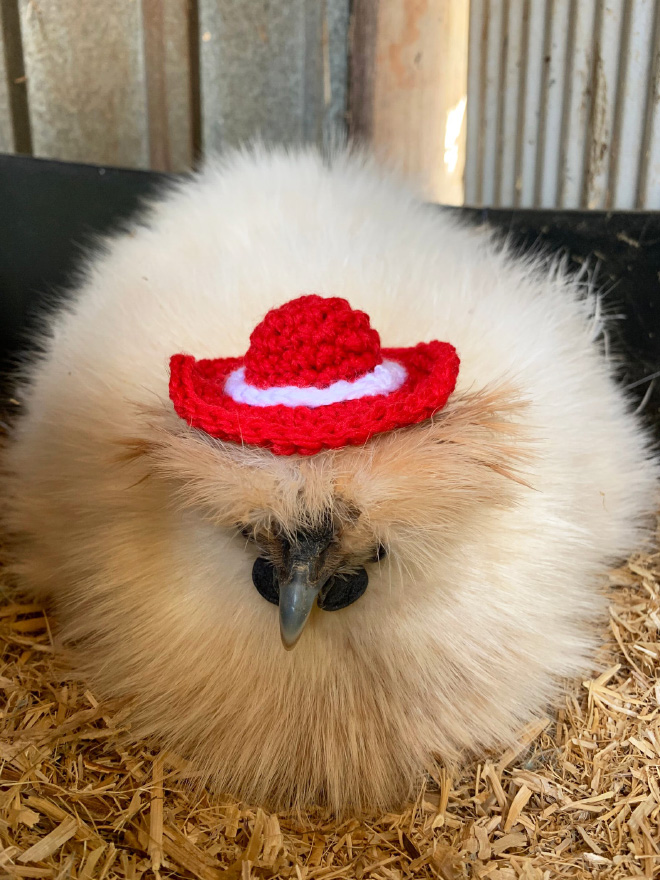 Moda divertida de pollo.