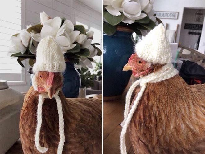 Moda de pollo de invierno.