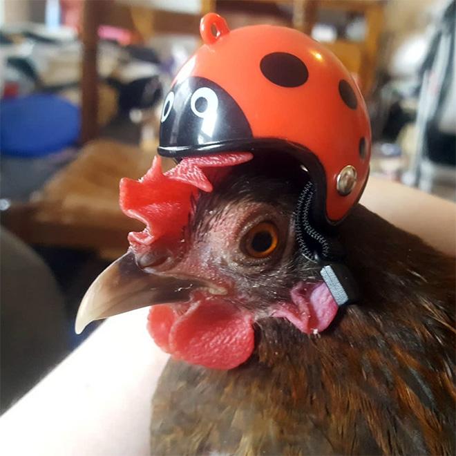 Casco de pollo.