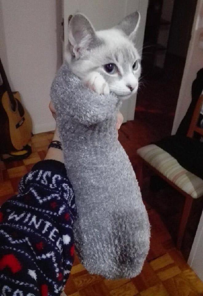 Gato en un calcetín.