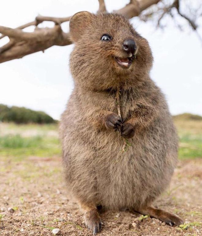 Quokka es el animal más feliz de todos los tiempos.