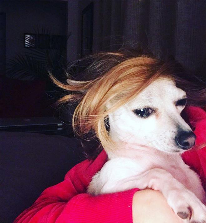 Perro con peluca.