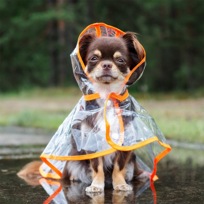 Perro con impermeable.