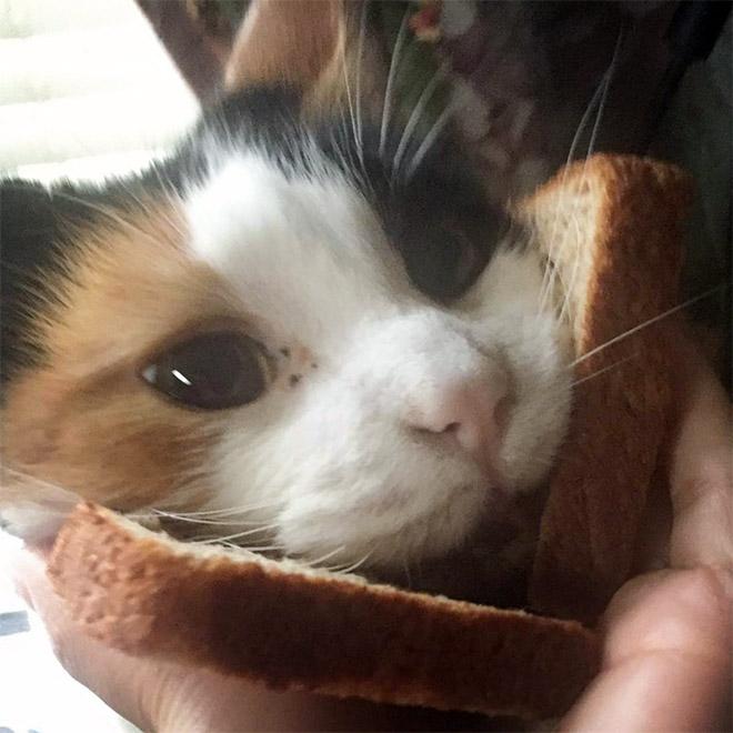 Sándwich de gato.