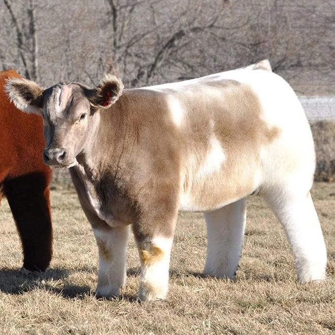 Vaca suave, lavada y seca.